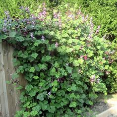 Hyacinth Bean Vine....beautiful vine with flowers that develop dark purple seed pods when done blooming.  Very pretty on fence or trellis....