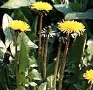 Dandelions for arthritis