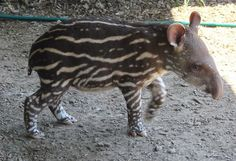 baby tapir by john a d willis, via Flickr