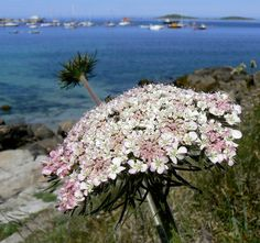 Sea Carrot - Daucus carota ssp. gummifer by Peter Herring, via Flickr