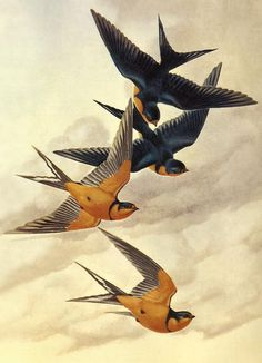 Barn Swallow color reference