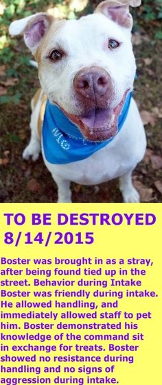 SAFE 8-13-2015 by Posh Pets Rescue  --- Manhattan Center – P  My name is BUSTER. My Animal ID # is A1047088. I am a neutered male white and tan pit bull. The shelter thinks I am about 5 YEARS old.  I came in the shelter as a STRAY on 08/07/2015 from NY 11423, owner surrender reason stated was STRAY. http://nycdogs.urgentpodr.org/boster-a1047088/