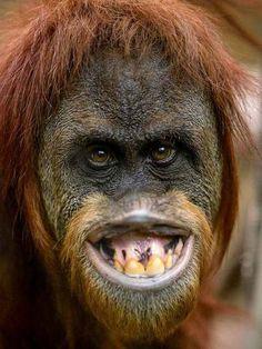 orangutan serve una pulizia dei denti