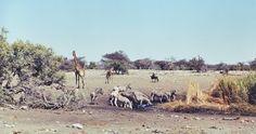 Wildlife at a water whole in Etosha pan, Namibiia