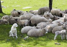maiores raças de cães do mundo Akbash