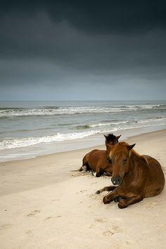 Wild Horses at Assateague Island_ USA