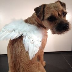Border terriers, fur angels