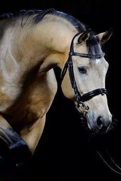 Wow, this is a gorgeous beautiful horse. Striking markings with black legs, mane, ear edges and nose. Stunning horse photography.