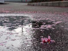水たまりに桜