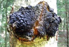 Chaga Tea Health Benefits - This mushroom that grows on Birch trees in Russia and Canada has been used for centuries to treat cancer and other diseases. Now scientists are discovering the real health benefits of chaga tea.