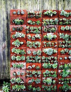 Succulent plants in bricks, along front path.