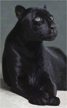 Panther Spirit Animal The panther spirit animal is powerful and protective. The panther symbolizes courage, valor and power. If the panther is your power animal, you are blessed with a fierce guardian. The panther is the Big Cats, Cool Cats, Crazy Cats, Cats And Kittens, Black Animals, Animals And Pets, Cute Animals, Black Cats, Cutest Animals