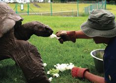 Oldest Animal Jonathan the Tortoise Is Going Strong at 183; A caloric increase is helping the oldest known living terrestrial animal in the world — a giant tortoise living on the tiny Atlantic island of Saint Helena — reclaim his health and vigor, a veterinarian reports.