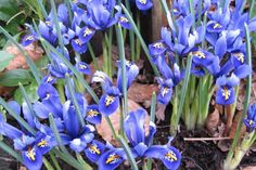 """Iris vor Wühlmäusen schützen: """"Da die Nager die Kleine Zwiebel-Iris sehr gern mögen, rät der Bundesverband Deutscher Gartenfreunde (BDG), die Blumen in kleinen Gruppen in Drahtkörbe zu setzen."""" Pflanzzeit: Herbst"""