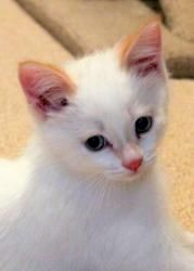 Scooby is my foster cat up for adoption!  Scooby is an adoptable Siamese Cat in Minneapolis, MN. Please click the 'Read More about this Pet' link below to view the full bio. Name: Scooby Breed: Flame point Siamese mix Age & Gender: 10 wks,...