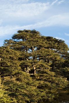 Cedars of God  Lebanon cedar   This small forest has been listed as a UNESCO World Heritage Site since 1998. The 400 or so trees are all that remains of a once extensive forest with timber prized by Herod, Alexander the Great and Julius Caesar. The Cedars of Lebanon are mentioned in the Bible 70 times, and in the Epic of Gilgamesh.