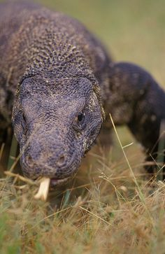 Known to have killed and eaten one human. komodo dragon #Lizard