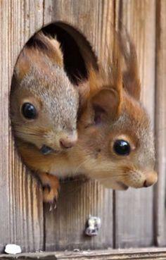 Baby squirrels peeking out. #squirrels #animals #wildlife
