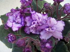 african violet Midnight Twist plant in pot