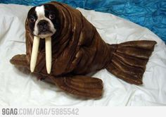 I am a walrus!  Dog Walrus costume well done.