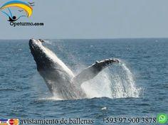 Tour Avistamiento de ballenas Diviertete con tus amigos y familiares en nuestro tour el cual consiste en la observacion de uno de los mamiferos mas grande , que llegan a nuestras calidas costas en busca de su reproduccion y sorprendernos con sus cantos y saltos.