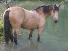 Gène crème - Robes & génétique des chevaux