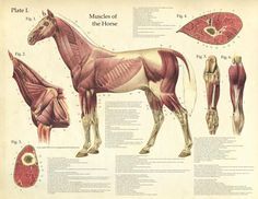 Antique Anatomy Chart - Muscles of the Horse-www.hoofprints.com
