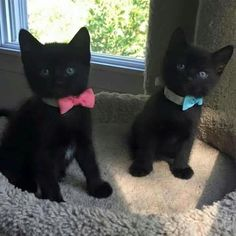 Kittens black cat and kittens Kittens And Puppies, Cute Cats And Kittens, Baby Cats, I Love Cats, Kittens Cutest, Cute Puppies, Black Kittens, Pretty Cats, Beautiful Cats