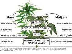 Κάνναβη εναντίον Μαριχουάνας : Διαφορές