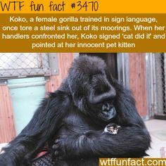 Koko WTF fun fact