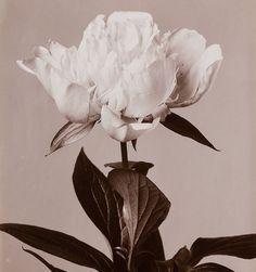 "alt = ""early flower photos by Wilhelm Weimar"""