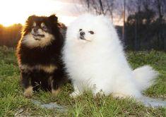 Pomeranian Colors, Pomeranian Breed, Cute Pomeranian, Pomeranians, Pomeranian Full Grown, Funny Dogs, Funny Animals, Cute Animals, Cute Dogs And Puppies