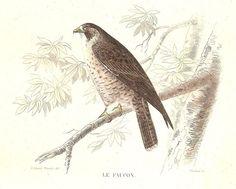 Hobereau  Faucon  - Oiseau Animal Bird - Gravure Ancienne Planche 1846