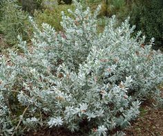 Eremophila glabra Silver Emu Bush This is an excellent groundcover Real silver with nice orange flowers 15 m high spreads about 115 m across Native Plants, Australian Garden, Australian Native Plants, Australian Plants, Native Plant Gardening, Australian Native Garden, Plants, Australian Wildflowers, Australian Native Flowers