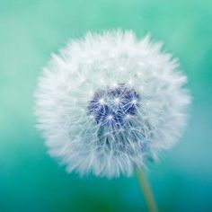 "Dandelion photography fine art photo - dandelion nature photography 5x5 - blue green teal spring macro print - ""Wishful Thinking"". $13,00, via Etsy."