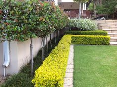Indian Hawthron Standards and clipped Duranta hedge as the base