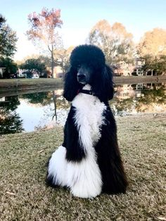 Gorgeous standard poodle, black and white #Poodle
