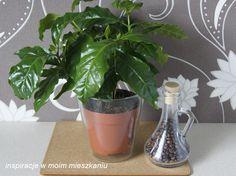 inspiracje w moim mieszkaniu: Kawa arabska czyli zielona, dekoracyjna roślina w ...
