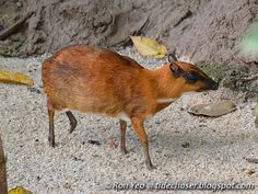 Greater Mouse (Not) deer
