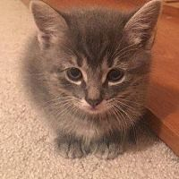 Angola In Domestic Shorthair Meet Aurora A Cat For Adoption With Images Siberian Cats For Sale Cat Adoption Cat Hug