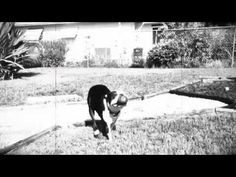 Watch Bowie the Boston Terrier Performing Spins & Fetch. http://www.bterrier.com/bowie-the-boston-terrier-performing-spins-fetch/  Like Boston Terrier Dogs on Facebook : https://www.facebook.com/bterrierdogs
