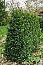 'Larix Eurolepis' er et løvfældende nåletræ, med bløde nåle og små kogler, der egner sig rigtig ...