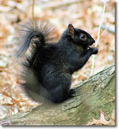 17 Photos Of Melanistic (All Black) Animals That'll Leave You In Awe Of Mother Nature Eastern Gray Squirrel, Black Squirrel, Cute Squirrel, Squirrels, Squirrel Girl, Raccoons, Rodents, Black Animals, Cute Animals