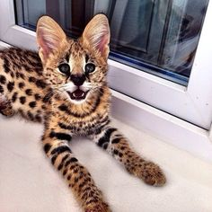 Bengal Cat Gallery - Cat's Nine Lives Pretty Cats, Beautiful Cats, Animals Beautiful, Pretty Kitty, Kittens Cutest, Cats And Kittens, Cute Cats, Cute Baby Animals, Animals And Pets