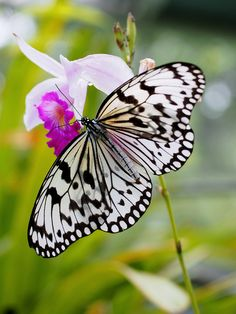 Black and White Butterfly on White and Pink flower.