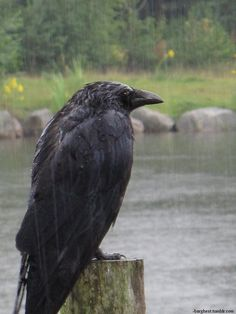 -barghest:  Corvus corax.