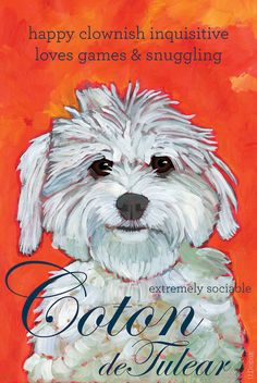Coton de Tulear No. 1 – magnets, coasters and art prints Coton de Tulear No. White Fluffy Dog, Fluffy Dogs, White Dogs, Coton De Tulear Dogs, Dog Mom Gifts, Maltipoo, Cavapoo Puppies, Pet Names, Humor