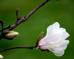 Magnolia in the rain
