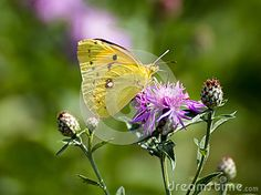 Common Clouded Yellow - scientific name: colias croces