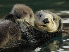 Introducing: Seattle Aquarium's new baby sea otter! Here, she's seen cuddling with her mama. More photos: http://bit.ly/wEveQI